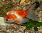 zlota-rybka-1
